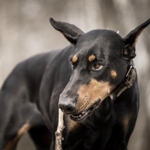 dog bite dog attack Missouri dog bite laws dog bite defense attorney dog bite attorney near me